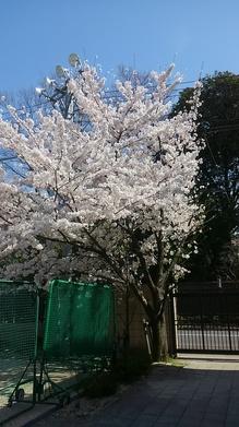 桜1.JPGのサムネイル画像